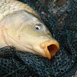 Miért drágul a hal?