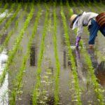 A magyar rizs nyomában