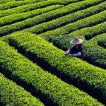 Jövő nyáron már magyar teát szürcsölhetünk