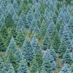 Hogy kerül a karácsonyfa a nappaliba?