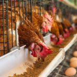Mit keres a tojótyúk egy ketrecben?