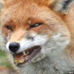 Veszett rókának ne nézd a fogát!