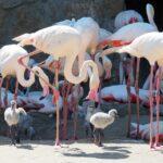 19 fióka a rózsás flamingóknál – A Budapesti Állatkertben most különösen sok a kisállat