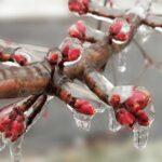Oda a baracklekvár! – Tarolt a fagy a gyümölcsösökben